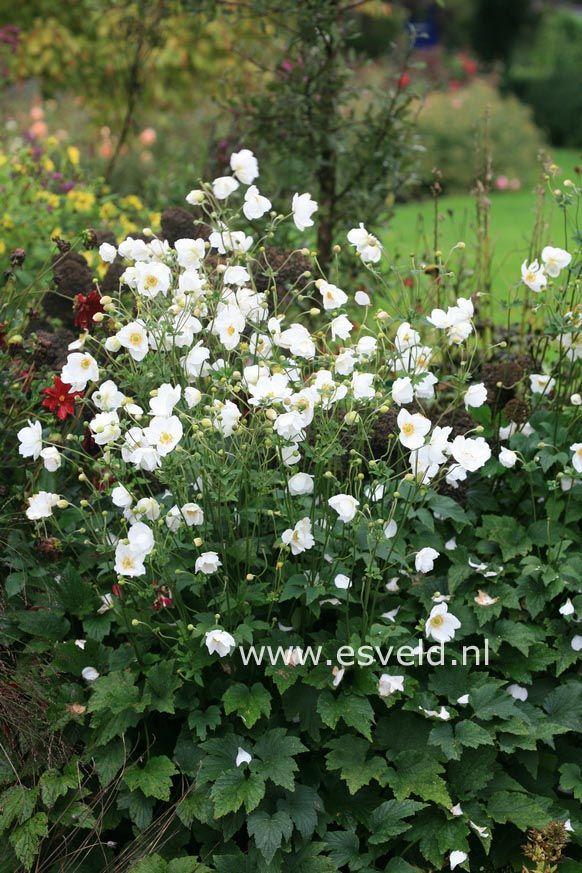 Anemone hybrida 'Honorine Jobert' september witte bloei
