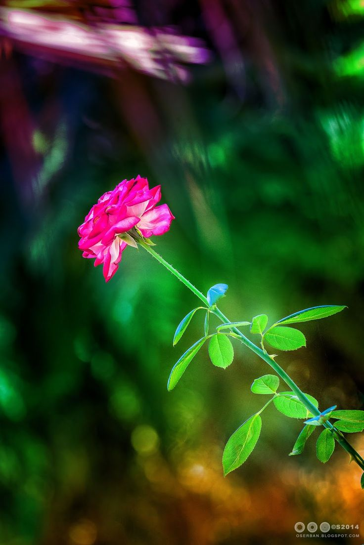 Octavian Serban: The rose...