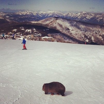 Mt Buller with a visit from a Wombat.....Victoria - Australia