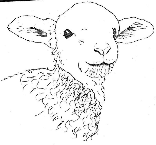 Line Drawing Of Sheep Face : Realistic drawing lamb google search https