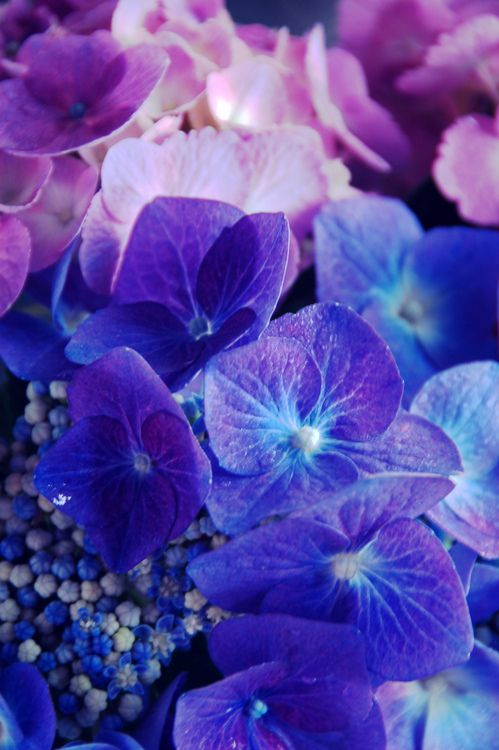 Beautiful blue and pink-purple hydrangeas, or Krismisrose as we called them, will always make me think of my mom...
