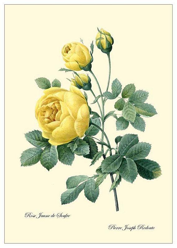아름답고 우아한 장미꽃 이미지 (2) Pierre Joseph Redoute : 네이버 블로그