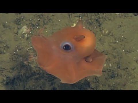 New Species Discovered? 'Cute' Octopus Might Be A Whole New Animal! (VIDEO) : Science : Headlines & Global News