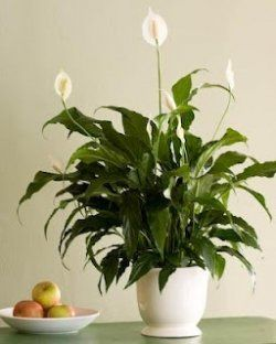 Peace lilies are a very effective home air purifier. House plants such