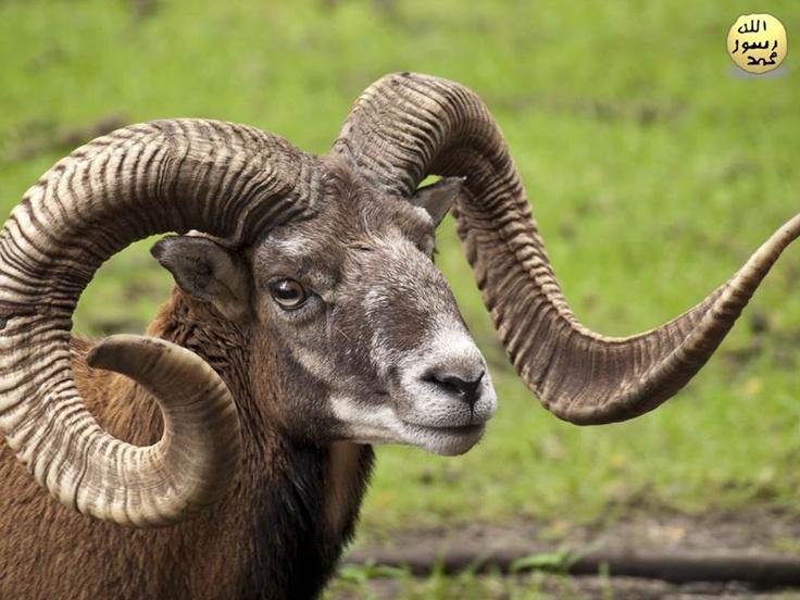 Bu koyunlara Avrupa vahşi koyunu denilmektedir.