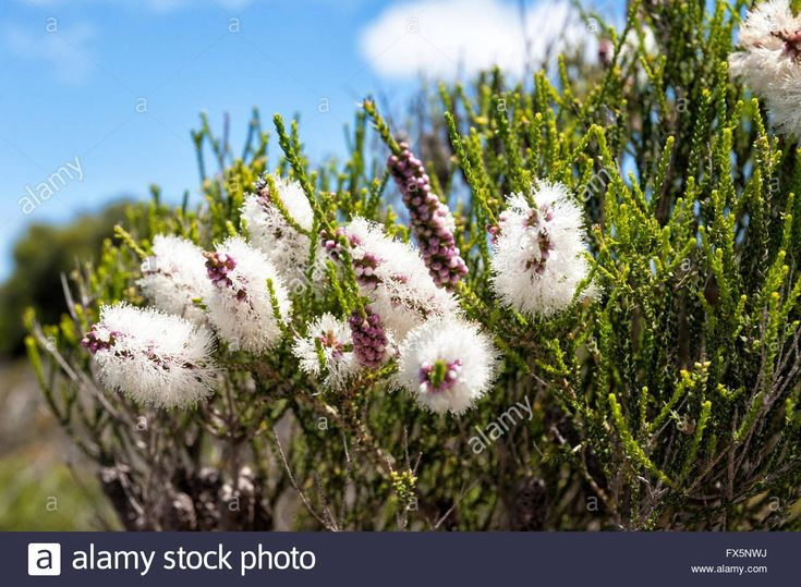 Bottebrush (melaleuca Striata), Western Australia, Australia Stock Photo, Royalty Free Image: 102159838 - Alamy