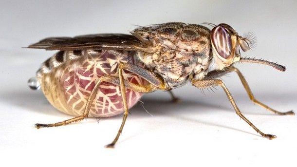 Tsetse Fly (Africa)
