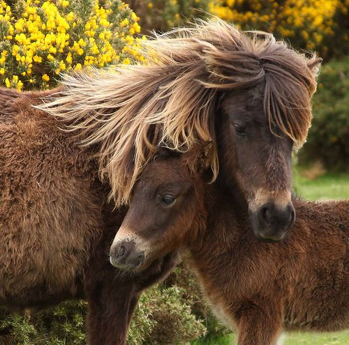 Fell Pony mare and foal. The Fell pony is a versatile, working breed of mountain and moorland pony originating from northern England.