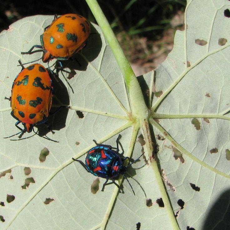Bugs on Beach Hibiscus