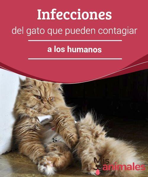 Infecciones Del Gato Que Pueden Contagiar A Los Humanos Mis Animales Gatos Gatos Cariñosos Hierba Para Gatos