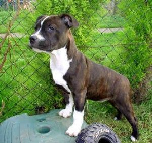 staffordshire bull terrier puppy pictures