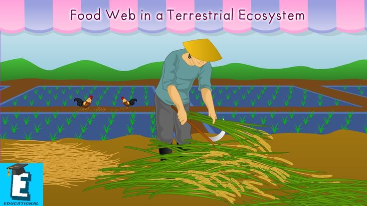 Food web in a terrestrial ecosystem by Educational Program For Kids