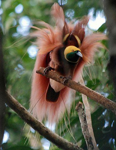 In Papua Nuova Guinea vi sono 37 specie di uccelli del paradiso, delle circa 45 specie conosciute