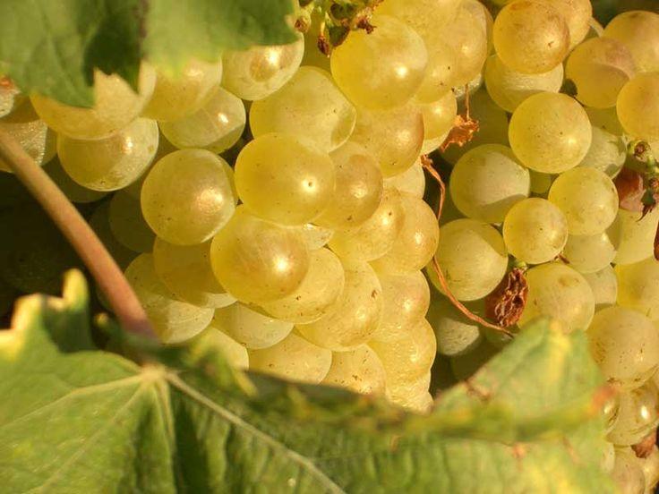 Fehér borszőlő fajták és ételpárjuk