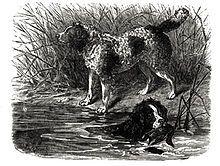 English Springer Spaniel - Wikipedia, the free encyclopedia