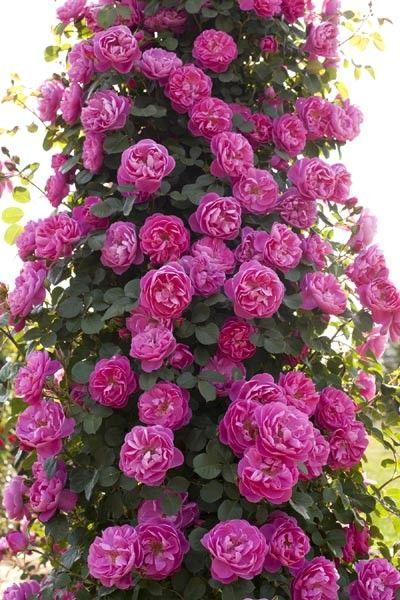 ~Rosier grimpant Allegro ® Meileodevin - Vente à distance de rosiers Meilland Richardier