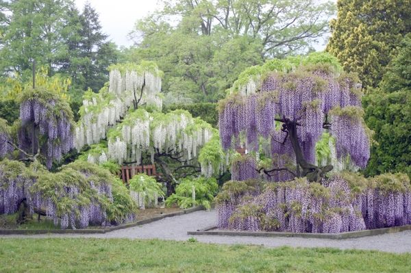 I'd like a wisteria somewhere in the yard but not too close to the house: Beautiful Natural, God, Homework, Beautiful Places, Amazing Landscape, Longwood Gardens, Flowers, Heavens, Wisteria Trees