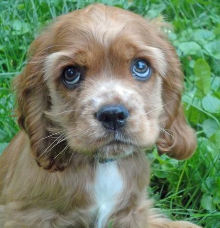 cocker spaniel puppy. what a beautiful baby!