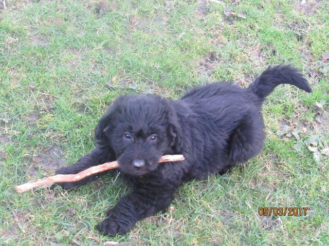 Handsome Labradoodle Boy - Ready Now!! For Sale in Machynlleth, Powys | Preloved