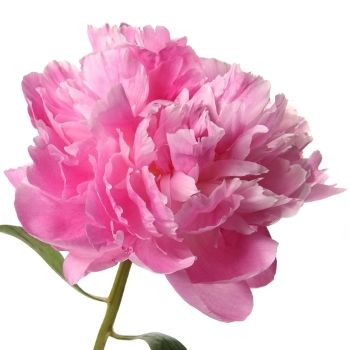 FiftyFlowers.com - Pink Peony Flowers June Delivery   100 Peonies for $329.99