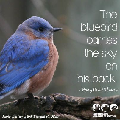 """""""the bluebird carries the sky on his back""""  