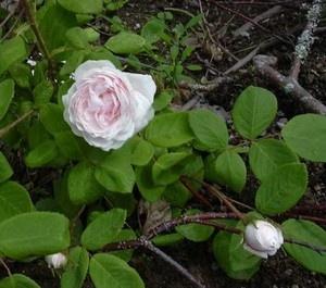 SHAILER'S WHITE MOSS  Anno: 1788  Colore: Bianche  Descrizione: Antica varietà di centifoglia Muscosa, ben fornita di muschio. Fiori grandi doppi bianchi ai bordi e rosa tenue al centro.Non rifiorente. Cm 150 x 120