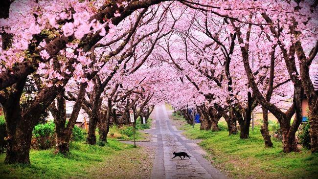 Full Hd Wallpaper Cat Sakura Road Japan Desktop Backgrounds Hd 1080p Beautiful Landscape Wallpaper Cherry Blossom Wallpaper Blossom Trees