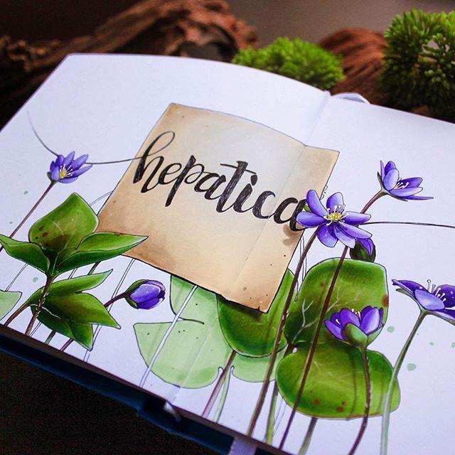 Для меня весна всегда начинается с перелесок. Синеньких. С таких, как  папа приносил домой каждую весну, когда я была маленькой| For me spring always begins with blue hepatica)  1/8 #lk_sketchflashmob, #art_markers, #art_we_inspire, #art, #sketchbook, #sketch, #illustration, #скетч, #иллюстрация, #скетчбук, #ботаника, #marker, #copicmarker, #copic, #copicart, #savannasketch, #botanical, #hepatica, #flower, #forest, #spring