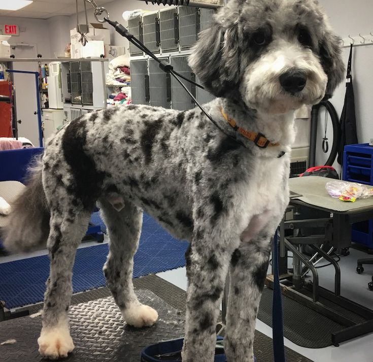 Bernese Mountain Dog Poodle Mix - Everyone loves a good haircut! #DogGrooming