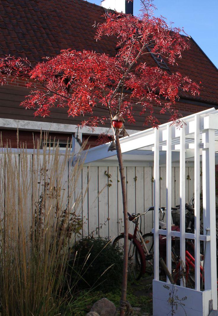 Vi tre & trädgård - blogg: Carmencitarönn Samplantering: martäckare som jungfrunäva, ormöga, sockblomma, alunrot…  Krokus som sedan kan vissna ner bland marktäckarnas blad.  Plantera gärna oktoberstormhatt i närheten av rönnen. På hösten möts rönnens rostfärger med stormhattens blå i en underbar kombination.