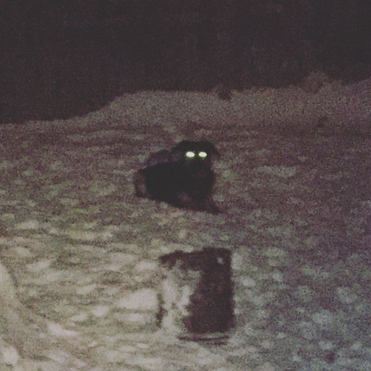 Its a ghost dog. Babysitting this goof again and he wont stop playing in the snow. . . . #babysitting #dogwatching #dogs #goofy #snow #adorable #night #winter #ghostdog #woof #dog #alaska #glowingeyes #spooky #barking #aloof #lol #snowy #cold #fluffy