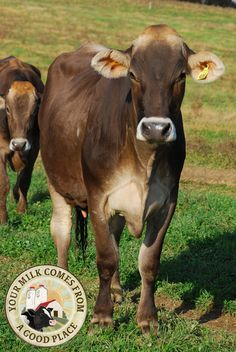 Meet the Brown Swiss cow! Many dairy historians consider the breed to be the oldest of all the dairy breeds.