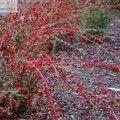 Irga rozkrzewiona (Cotoneaster divaricatus) | Encyklopedia Roślin