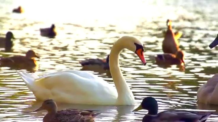 Lakes, ducks, swan & swan goose # Relaxing music & ducks sound # Meditat...