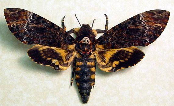 Pin Von Felix Auf Moth In 2020 Mit Bildern Lebewesen Libellen Schmetterling