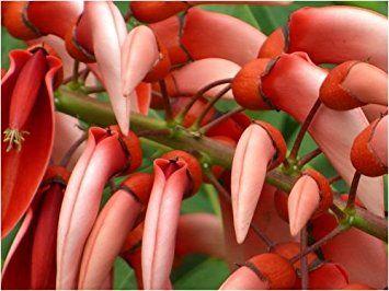 Seedeo Karibischer Korallenstrauch (Erythrina crista-galli) 8 Samen