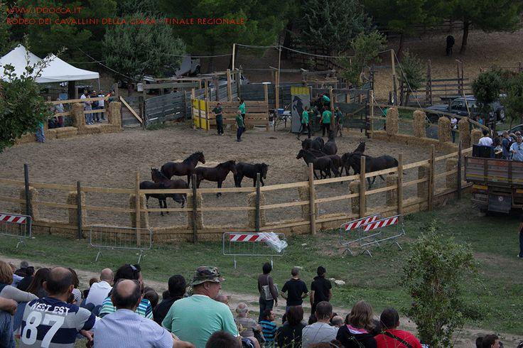 I cavallini della Giara, pochi minuti prima del rodeo