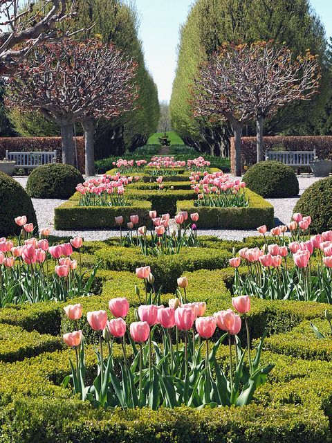 Tulips in a formal knot garden