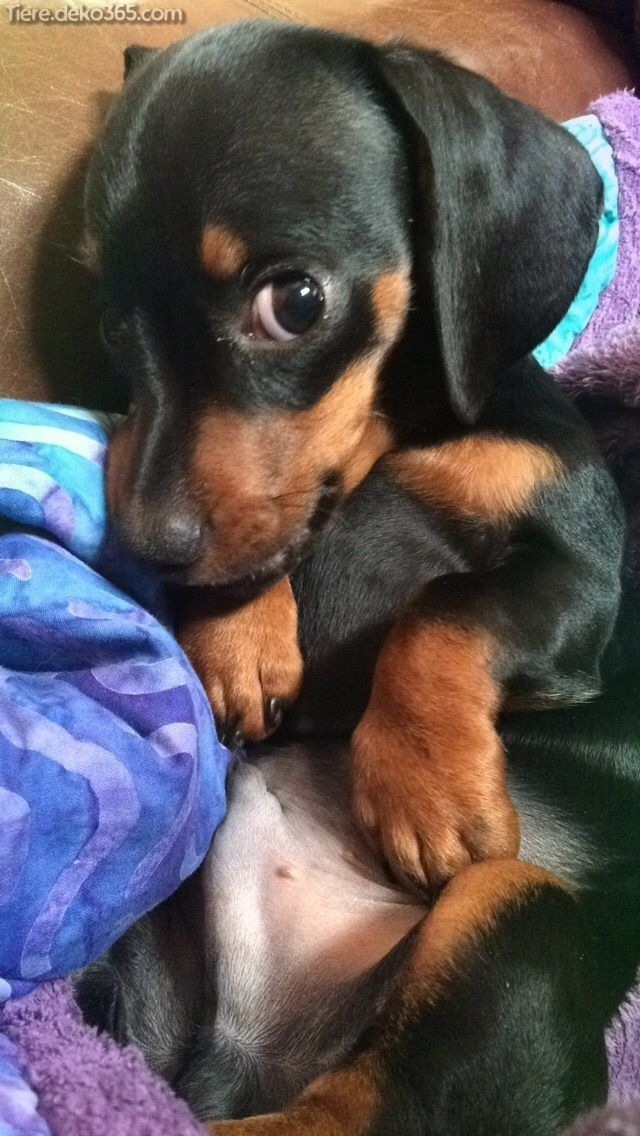 Great miniature image Dachshund dogs and puppies