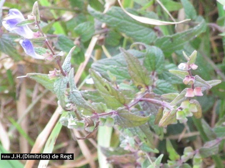 Blauw glidkruid - Scutellaria galericulata 2016-09-02 | Waarneming.nl
