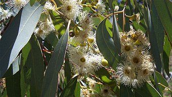 Yellowbox flowers (Eucalyptus melliodora - meaning honey scented) The last patches of yellow box are now recognised as critically endangered.