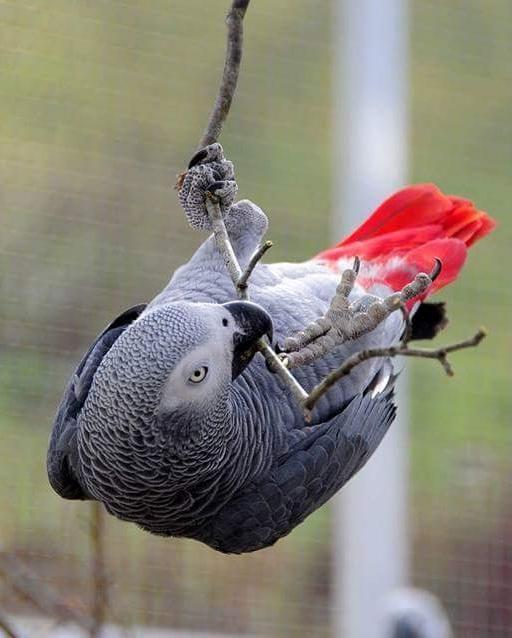Grey parrot (Psittacus erithacus).