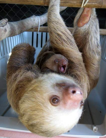 I hope to one day travel to Costa Rica to volunteer at the Sloth Sanctuary and Rehab center there. Fascinating creatures.  Yes, I am a geek.