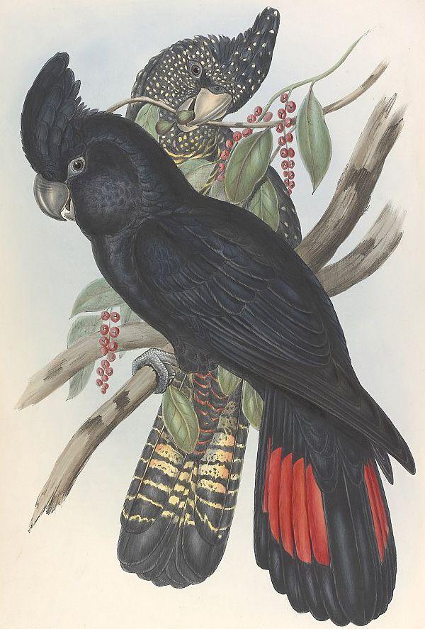 beautiful Black Cockatoo