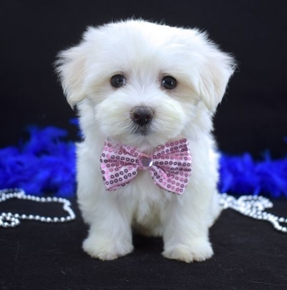 Stormy Is A Male Maltese Puppy For Sale At Puppyspot Call Us