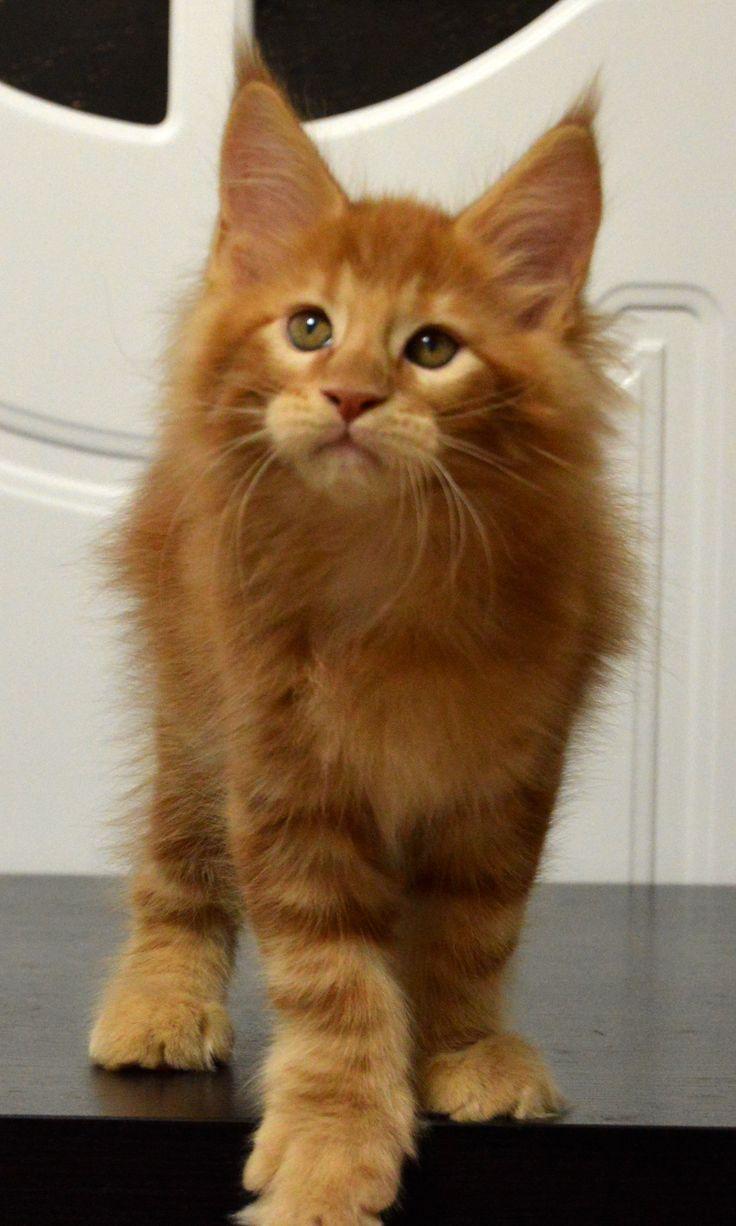 Котенок мейн кун Montaro Darsy, 2 month