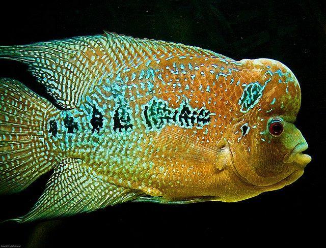 ... Cichlids on Pinterest Cichlids, Malawi Cichlids and Cichlid Fish