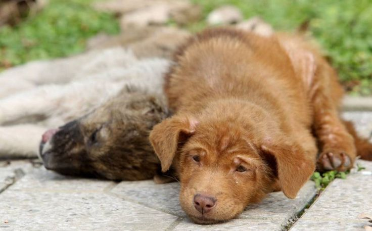 A brown puppy refused to leave his sister's side, even though she had been run over and killed by a car.