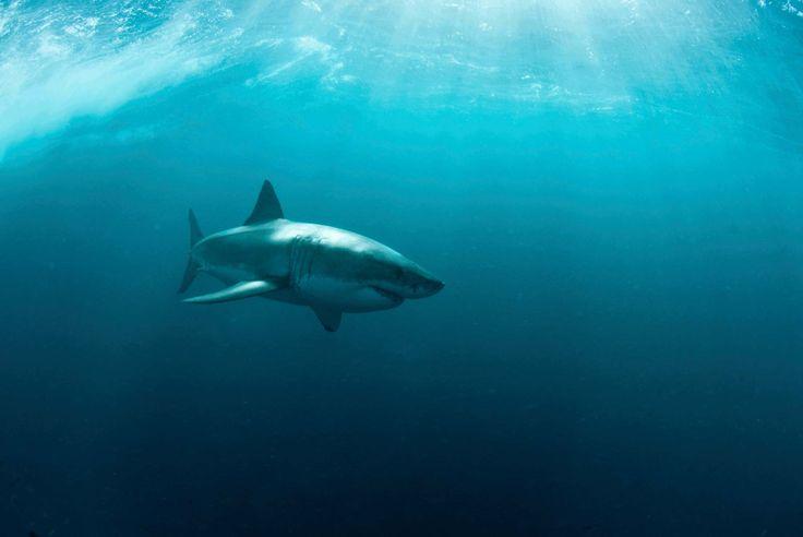 The Shark Trust - Tonic Immobility  -  how to lull a shark to sleep