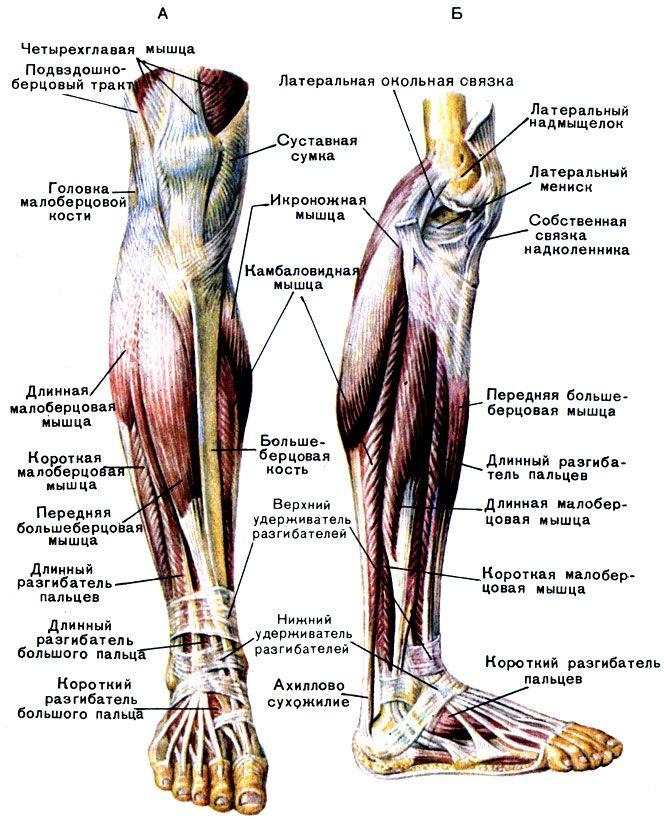Мышцы голени: А - спереди; Б - сбоку [1979 Курепина М М Воккен Г Г - Анатомия человека Атлас]